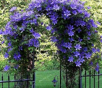2 PC True purple Clematis Bulbs,Clematis Flower,(Not Clematis Seeds)