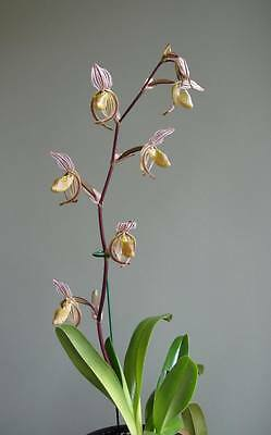 Paphiopedilum randsii species NFS slipper orchid