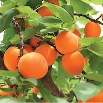 APRICOT - NEW LARGE EARLY - ready to crop - COLLECTION ONLY