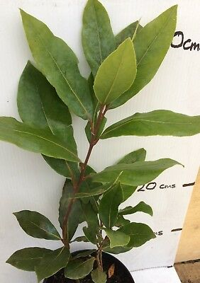 Bay Tree Laurus Noblis 9cm pot