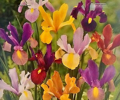 NEW 20 BEAUTIFUL Mixed DUTCH IRIS BULBS FLOWERS GARDEN PLANTS PERENNIAL Spring