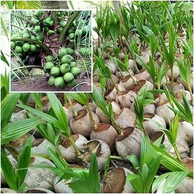 "Dwarf Fragrant Coconut Aromatic Coconut 1 Seedling Tree Plant Tall 8"" Thailand"