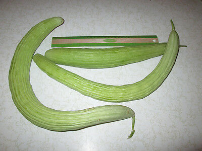 100 Armenian Yard Long Cucumber Seeds 78 days harvest, Heirloom 2.83 grams