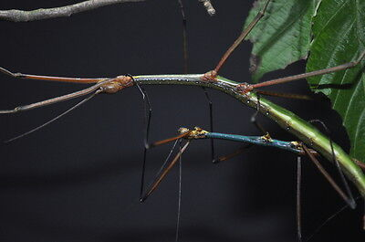 """Lopaphus sp """"Cuc Phuong"""" Stick Insect 20+ eggs"""