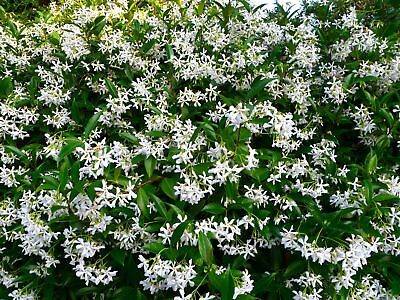 16-48 Plants|Star Jasmine & lillypilly Pack- Landscaping Affordable Plants
