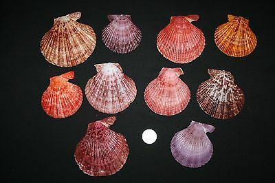 10 Med/large Noble Scallops