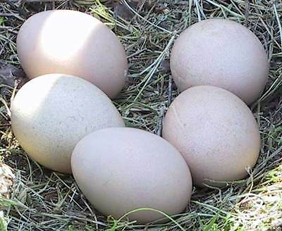 2 Assorted Peacock Peafowl  Hatching Eggs RARE BREEDS!
