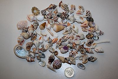RED SEA seashell selection