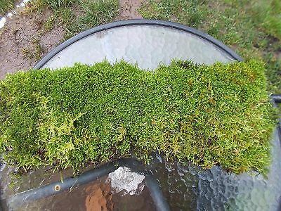 MOSS sheet. Lovely green mosses growing on one piece. ONE ONLY!!!