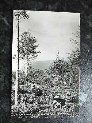 real photo postcard. tea picking in the ceylon highlands