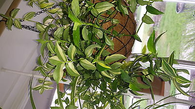 Green and White wandering Jew plant--cuttings