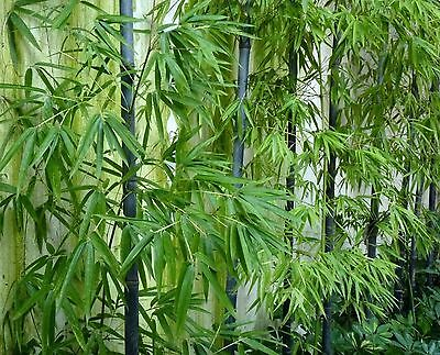 RARE Purple Bamboo, Timor Bambusa Lako -Viable Seeds