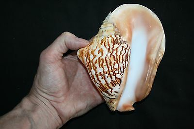 LARGE Latissimus Conch seashell (C)