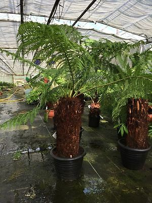 Tree Fern Trunk Size 60cm Overall Height approx 120 Dicksonia antarctica