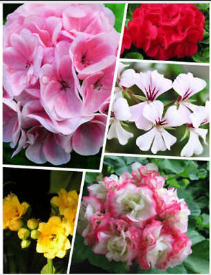 20pc IVY Geranium  Seeds 5 variety Plants Flower seeds for Home Garden