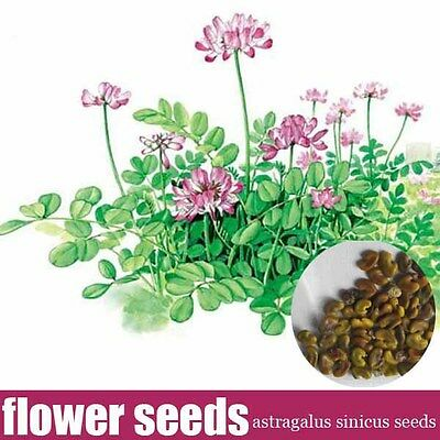 milk vetch(Astragalus sinicus) seeds for cultivation bee plant seeds,1kg per lot