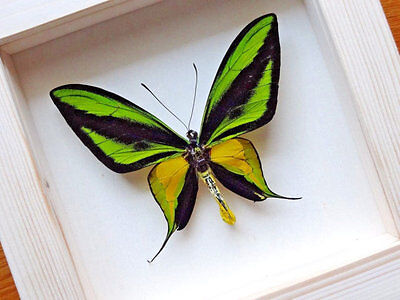 Ornithoptera Paradisea Male - Framed Butterfly - Collectibles - Home Decoration