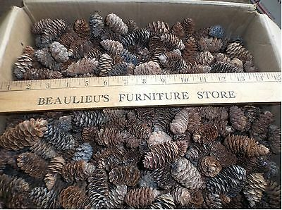 50+ Spruce Pine Cones (Cleaned) Centerpiece Fillers Arts & Crafts Church School
