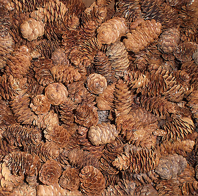 350+ Spruce Pine Cones (Cleaned) Centerpiece Fillers Arts & Crafts Church School