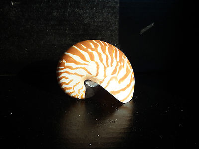 "1 x 4"" Chambered Natural Nautilus Seashell. Beach home decor.Collectors Specimen"