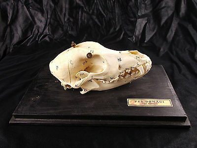 Vtg Antique Veterinary Anatomy Model Domestic Dog Skull Canine Canis Familiaris
