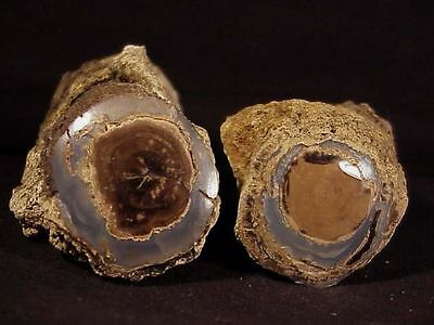 """~RW~ TWO  """"PETRIFIED WOOD LIMBS"""" from BLUE FOREST"""
