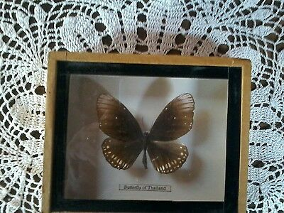 Beautiful Real Butterfly of Thailand, Framed & Mounted In Wood and Glass