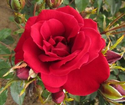 CRIMSON SWEET DREAM - 4lt Potted Patio Garden Bush Rose - Deep Red Blooms