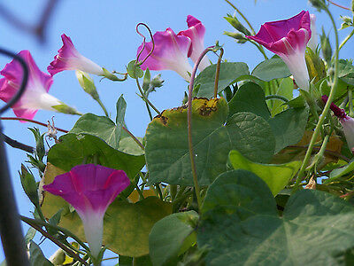 Ipomoea - Morning Glory, Hot Pink x15 SEED Flower Vine seeds, PRETTY ornamental