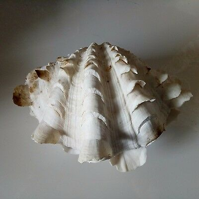 RARE SET BARGAIN PRICE! Large frilly clam sea shell pair. Collectors beach