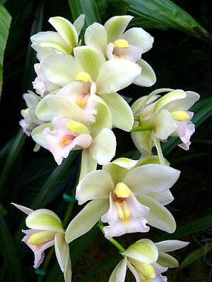 New rare  orchid Cymbidium MOLLY 903, orchid plant,,