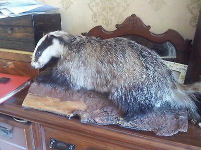 VINTAGE Taxidermy LARGE BADGER IN NATURAL POSE ON A LOG