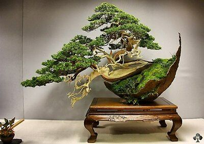 20 juniper bonsai tree Seeds potted flowers office bonsai purify the air absorb