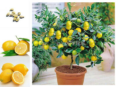 20pcs Lemon Tree seeds fruit seeds bonsai plant DIY home garden BONSAI seeds Edi
