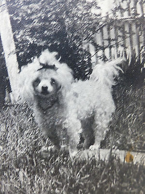 ANTIQUE 1900s Vintage RPPC Real Photo CUTE Bow Pigtail  POODLE DOG