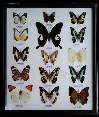 15 Real Butterflies  in glass Display frame  Insects  Taxidermy