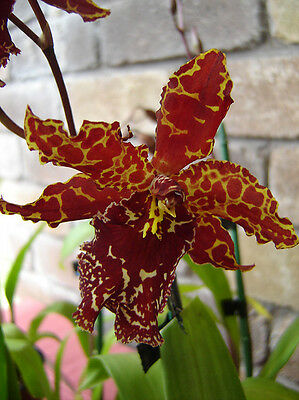 new rare orchid, Odontoglossum Stirbic 113 ,2 shoots Butterfly Orchid plant,