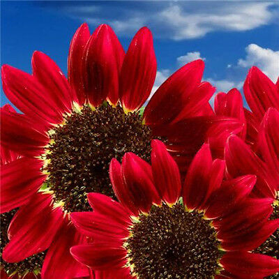 15pcs Flowers Fortune Sunflower Fortune Sunflower Seeds Flowers Seeds Red Sun Fo