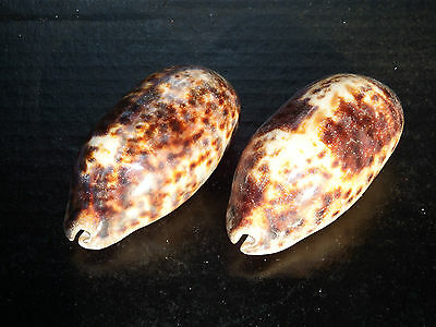 2 x LARGE Glossed Turtle Cowrie Seashells. Beach Collectors Home Decor