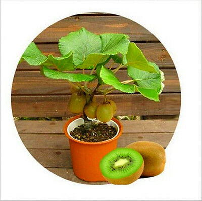 Kiwi Fruit Seeds Mini Kiwi Fruit Seed Flower Bonsai Plants For Home Garden Sweet