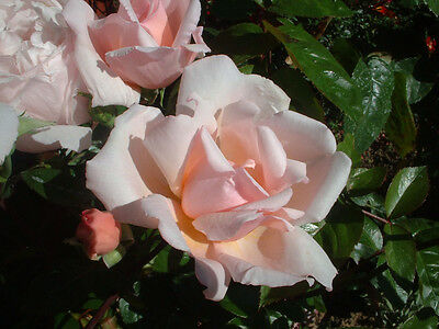 ALBERTINE - 5.5lt Potted Rambling Garden Rose - Fragrant, Pale Pink/Salmon