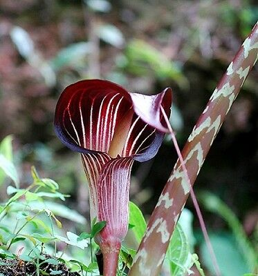Arisaema speciosum magnificum flowering size tuber offered.