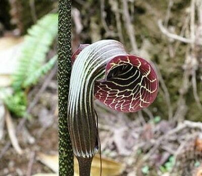 Arisaema griffithii flowering size bulb offered.