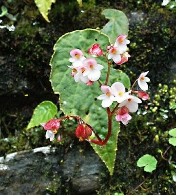 Begonia rubella flowering size rhizome offered.