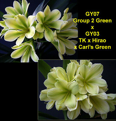 Clivia seeds x 2, GY07 Grp 2 Greeny Yellow x GY03 Green