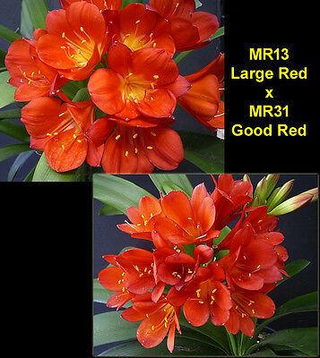 Clivia seeds x 2, MR13 Large Red x MR31 Good Red
