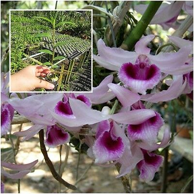 """Orchid Plants Dendrobium anosmum 1"""" In Pot Purple Flower From Thailand"""