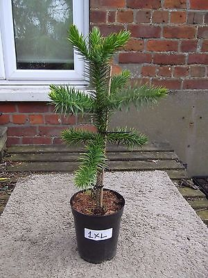 1 Monkey Puzzle Tree 70 Cm Tall  Free 24 Hour Highlands & Islands Extra