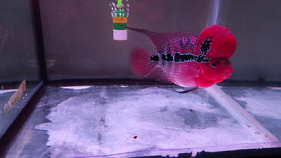 "5"" SRD Flowerhorn Live Flowerhorn Fish (Please read description)"