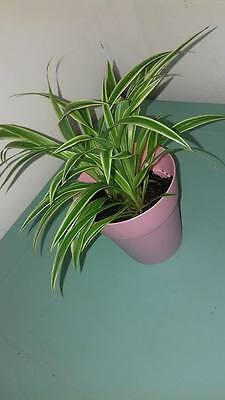 Spider Plant House Plants Nice Bushy Baby Plants In Free Pink Pot